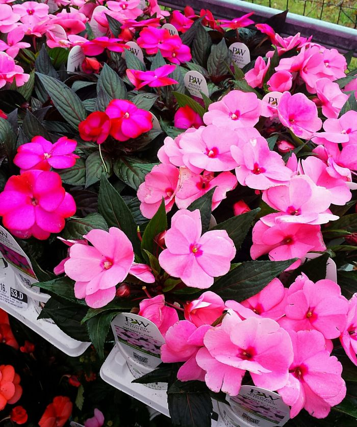 JGC New Guinea Impatiens